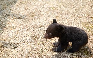 くまくま園の子熊の画像
