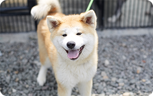 秋田犬の画像