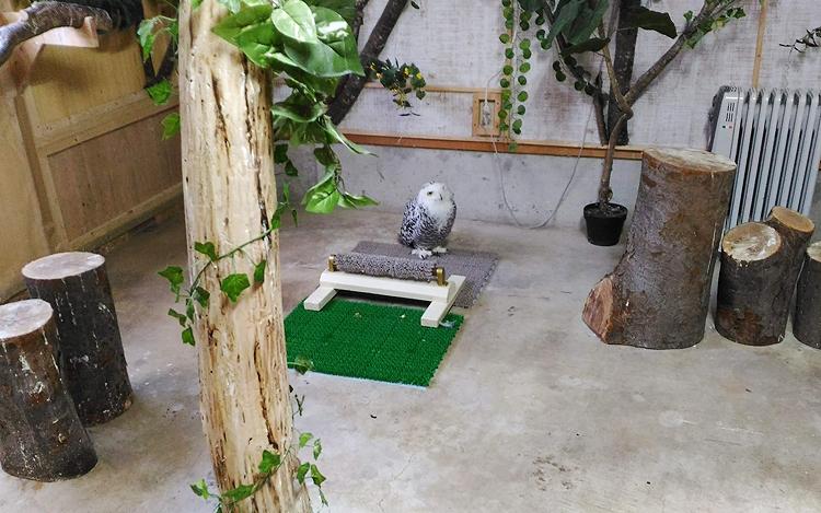 フクロウカフェ TORIKAGO シロフクロウ