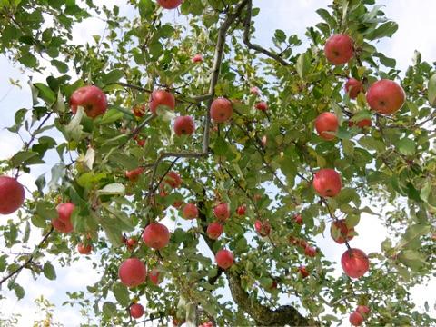 佐藤秀果園のりんご