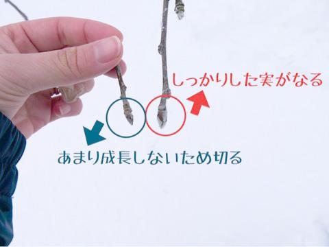 枝と芽の剪定
