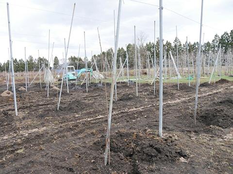 植えられらリンゴの苗木
