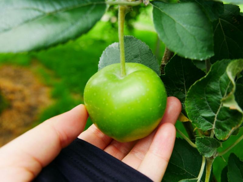 佐藤秀果園 青いリンゴの実