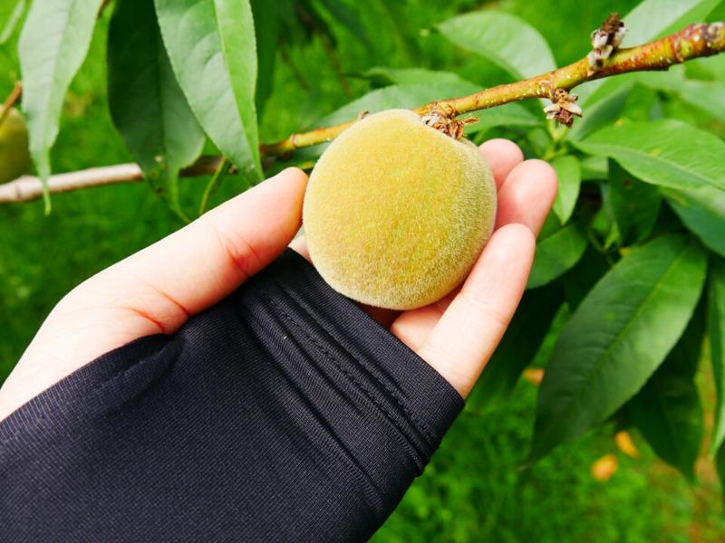 佐藤秀果園 青い桃の実