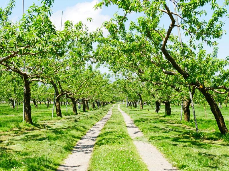 初夏の果樹園