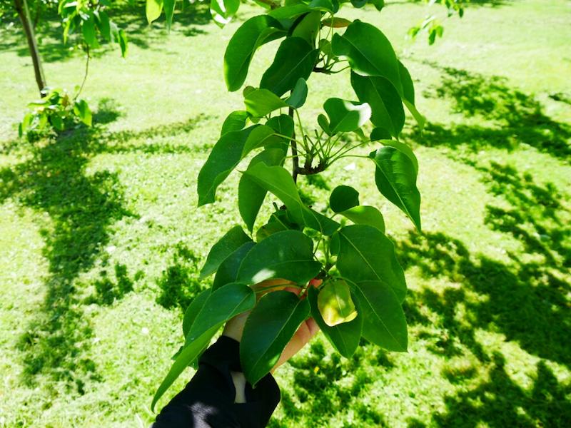 梨の花が葉っぱに