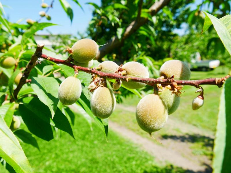 小さい桃の実