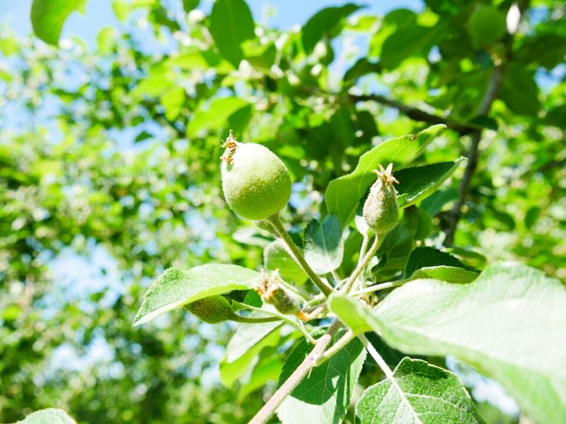 小さいリンゴの実