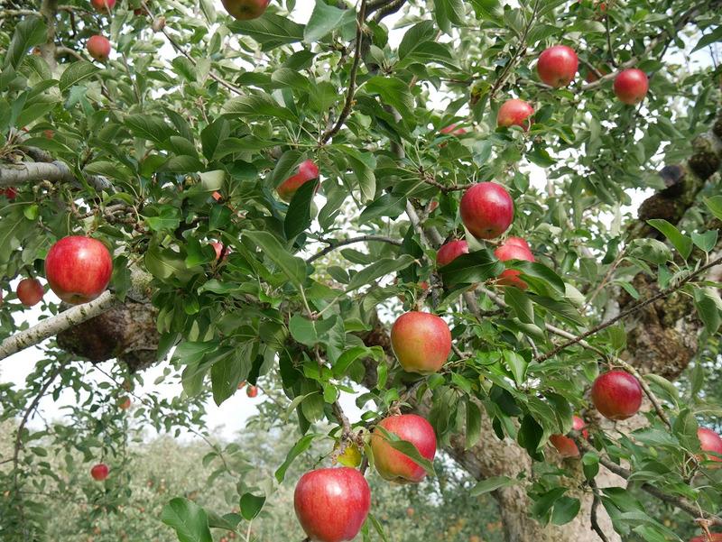 佐藤秀果園 リンゴの木