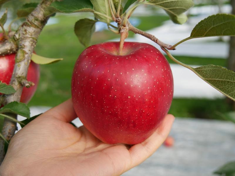 佐藤秀果園 真っ赤なリンゴ